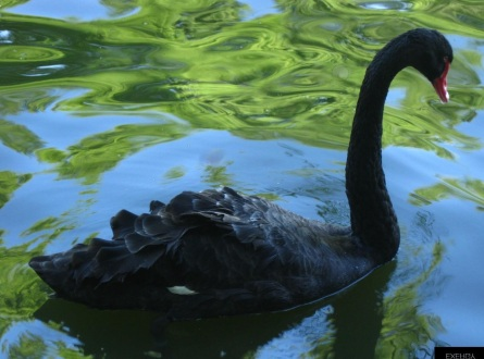 black swan - Herastrau Park - bucharest.jpg