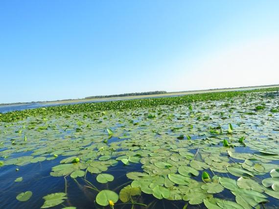 nuferi galbeni pe Lacul Isac