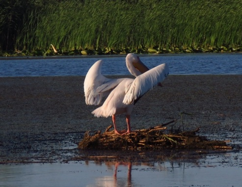 pelican pe Lacul Isac